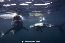 Great whites, Gansbaai, Cape Town by Aaron Gekoski 